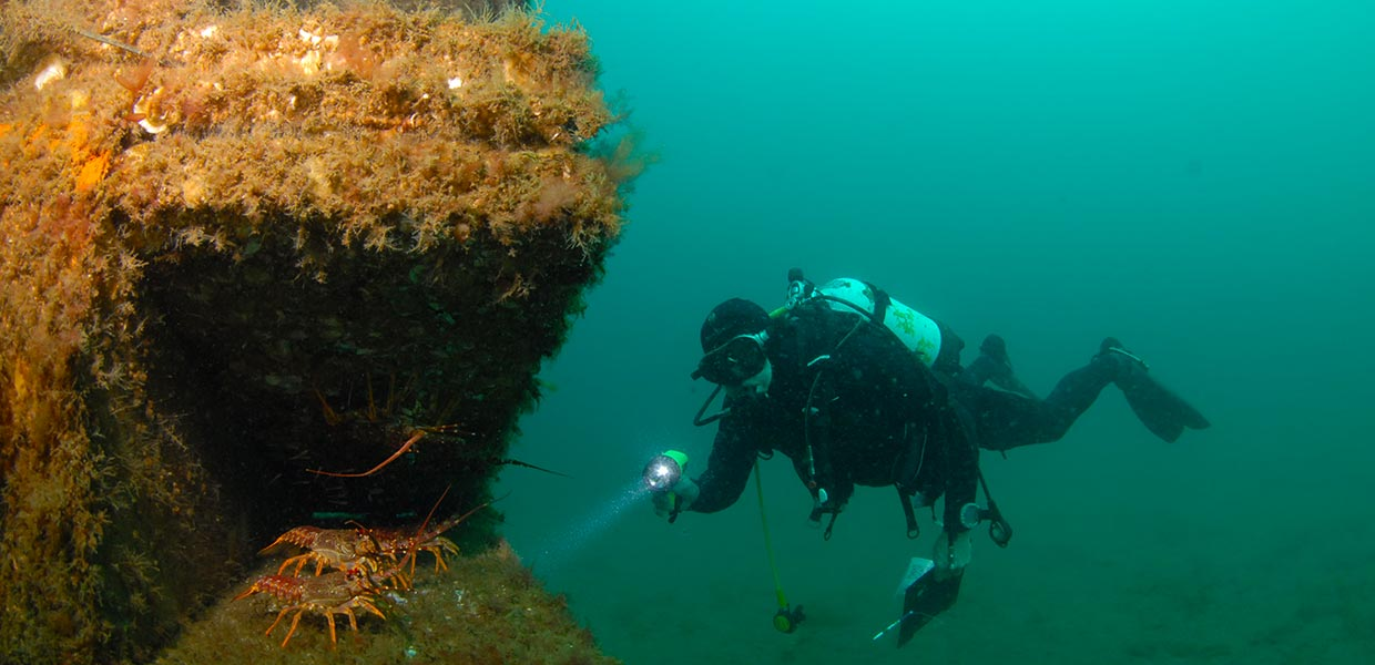 Taroona Artificial Reef lobsters
